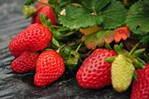Organic Strawberries from Community Supported Agriculture Farm