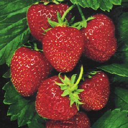 Los Osos Valley Organic Farm Strawberries