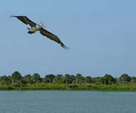 Brown Pelican Flying Over Pelican Island - Photo: Nick Wirwa USFWS