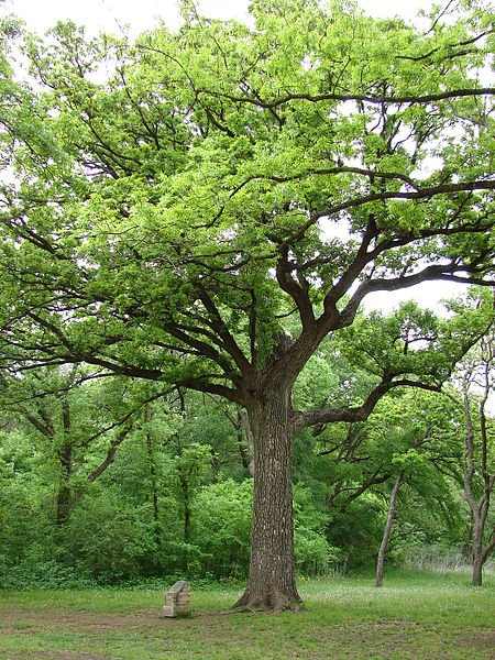 Bicentennial Oak Tree in Bob Woodruff Park Plano, Texas