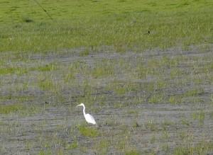 Egret in Marsh - Photo: Author's Son Adam