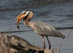 Great Blue Heron with Fish - Photo: Frank Miles, USFWS