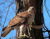 Red-tailed Hawk - Photo: Mark Bohn, USFWS