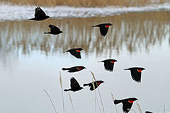 Red-winged Blackbirds in Flight - Photo: Mike Guyant, USFWS