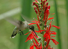 Ruby-throated Hummingbird at Cardinal Flower - Photo: Bill Buchanan, USFWS