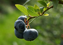 Cluster of Blueberries on Blueberry Bush