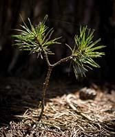 Future Pine Tree in Sunlight