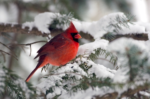 Northern Cardinal Sitting in Snow Covered Tree
