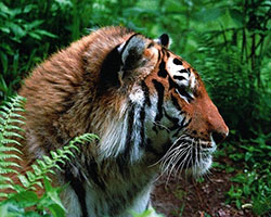 Amur Tiger - Bikin Tiger Carbon Project, Russia - Photo: Vasily Solin, WWF Amur Branch