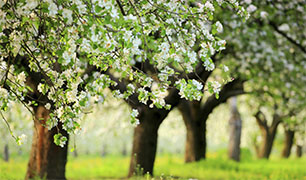 Orchard Trees in Bloom - Photo: USDA NOP