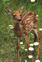 Deer Fawn in Field of Wild Daisies