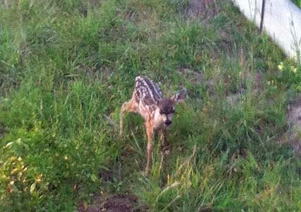 A Tiny Fawn Contemplates Dinner in Our Yard