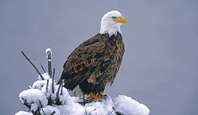 Bald Eagle Perched on Snow Covered Tree Stump