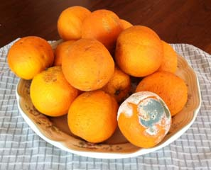 Plate of Oranges with One Spoiled Orange