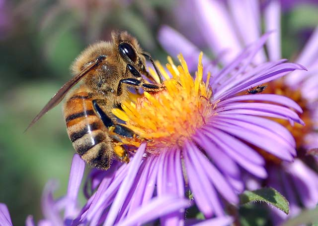 European Honey Bee Extracting Nectar from Purple Flower and Collecting Pollen