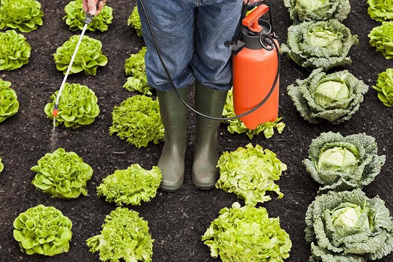 Farm Worker Spraying Pesticide on Lettuce and Cabbage Crops