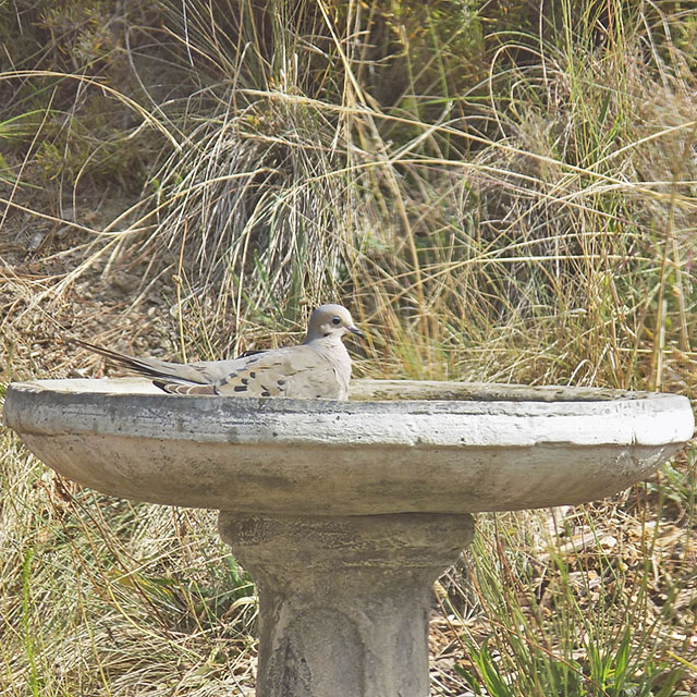 A Bird Relaxing in Our Birdbath