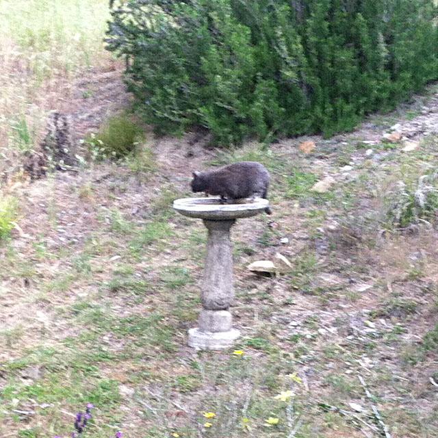 A Neighbors Cat Getting a Drink in Our Birdbath