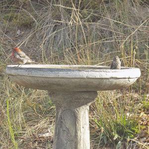 Two Red Headed Birds Taking a Bath in our Birdbath