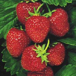 Los Osos Valley Organic Farm Strawberries