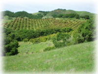 Old Creek Ranch Hass Avocado Orchard