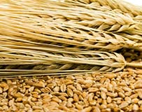 Whole Wheat Grain Kernels and Stalks