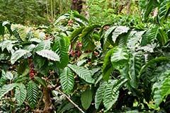 Coffee Tree Plantation