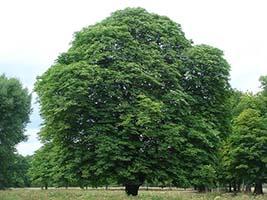 Beautiful, Big Chestnut Tree