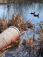 Effluent Pipe in Stream with Ducks