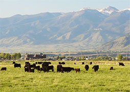 Beef Cattle Grazing in Pasture - Photo: USDA NOP