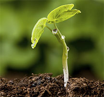 Seedling Just Sprouting from Soil - Photo: USDA NOP