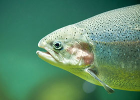 Close Up of Rainbow Trout in Water