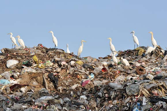 Egrets Standing on Garbage in a Landfill