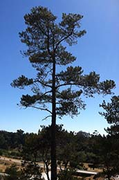 Majestic Monterey Pine Tree in Our Yard