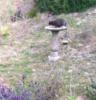 Neighbor's Cat Getting a Drink in Our Birdbath