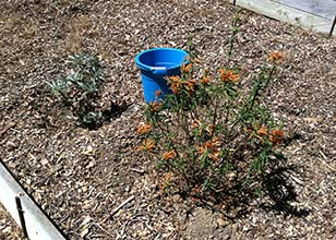 Sage and Lion's Tail Bushes with Blue Bucket