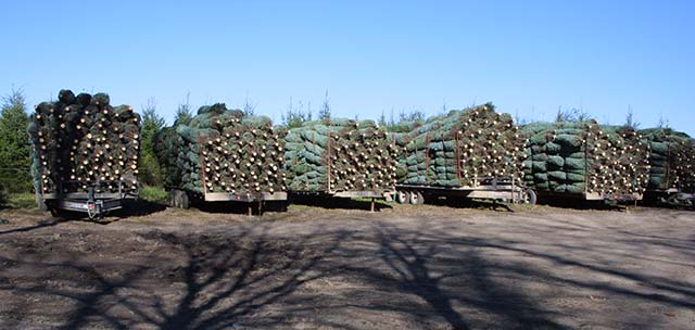 Cut Christmas Trees Loaded on Trucks - Photo: National Christmas Tree Association