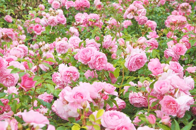 Pink Rose Bushes in Bloom