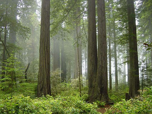 Redwood Trees in Redwood National Park, CA