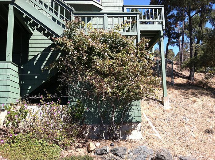 climbing-rosebush-watered-via-bucket-during-drought