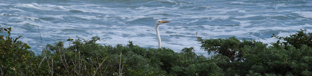 green-groundswell-egret-sticking-head-above-bushes-with-ocean-background