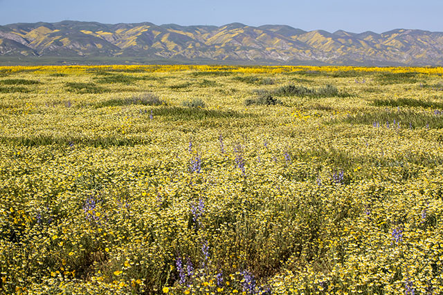 Wildflowers Bloom at Carrizo Plain National Monument in San Luis Obispo County, CA in April 2017