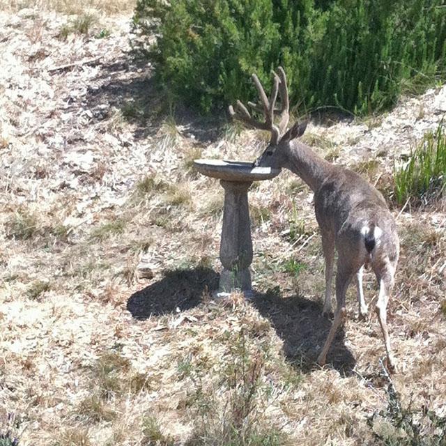 A California Mule Deer Buck Drinking from Our Birdbath