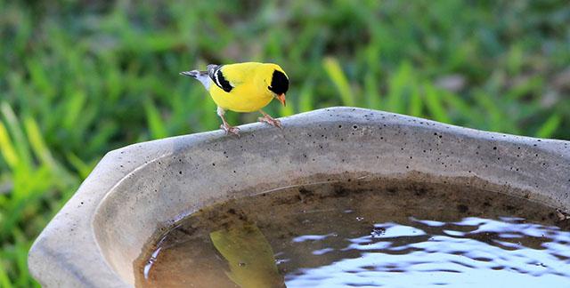 American Goldfinch Perched on Birdbath Rim