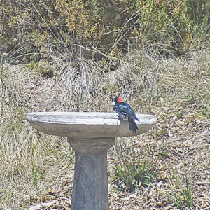 An Acorn Woodpecker Perched on the Edge of Our Birdbath