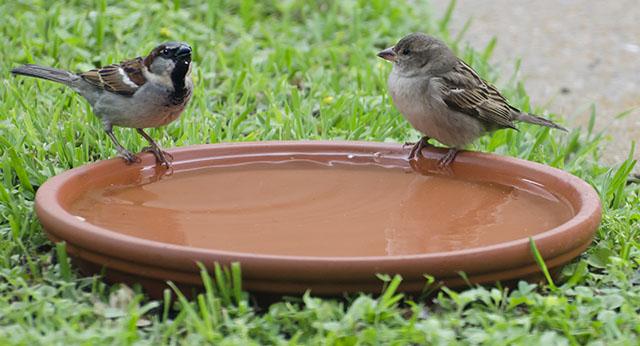 English House Sparrows Perched on Birdbath Rim