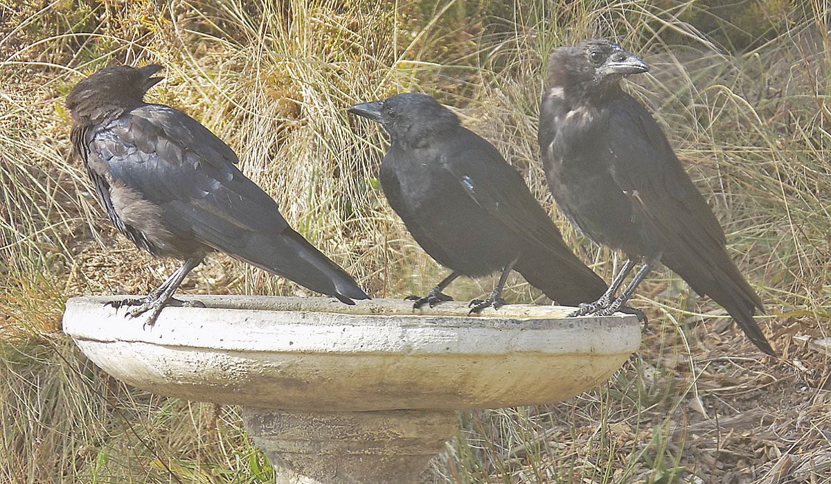 Three Crows Getting a Drink at Our Birdbath