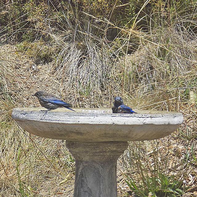 Two Blue Feathered Birds Taking a Bath in Our Birdbath