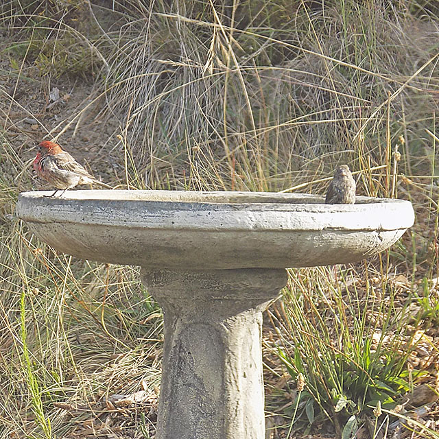 Two Red Headed Birds Taking a Bath in our Birdbath