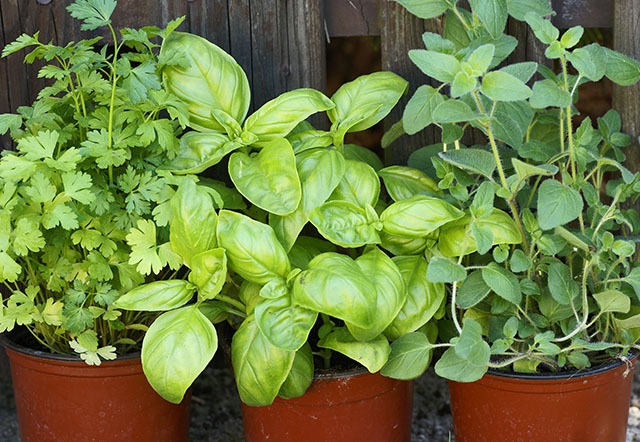 Fresh Parsley, Basil, and Oregano Growing in Pots